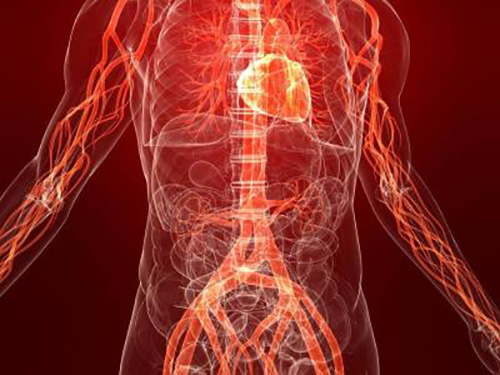 артерии вены и сердце человека